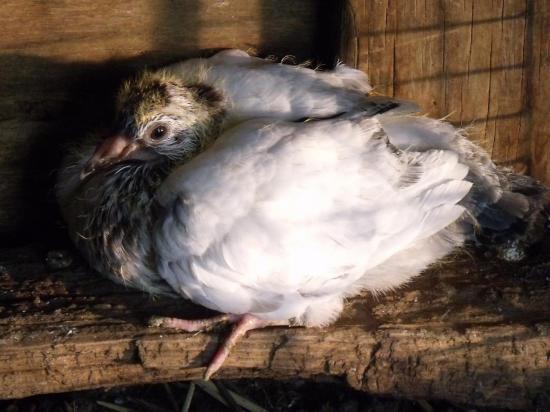 pigeon paon de 15 jours