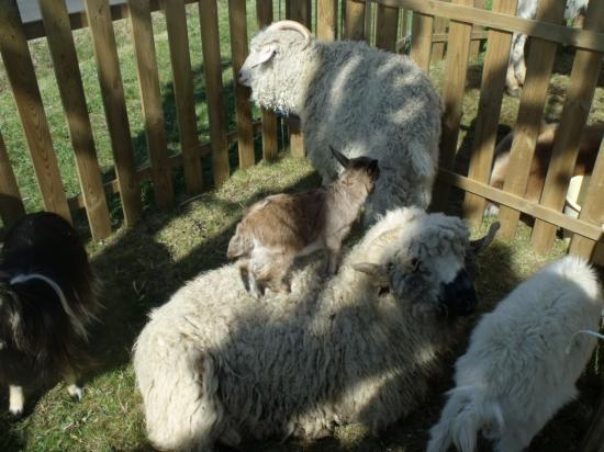 tonte mouton juin 2011 014